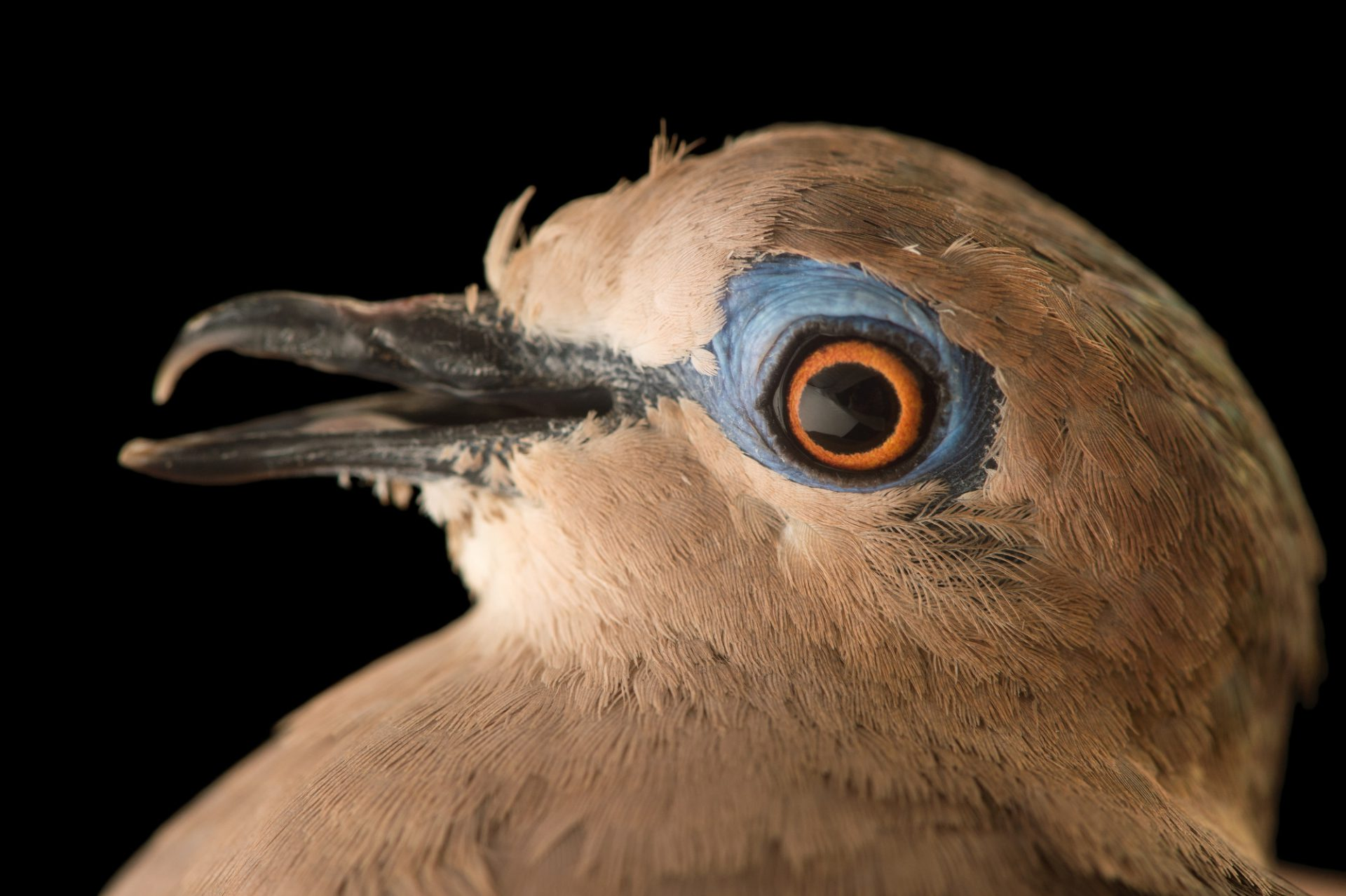 Picture of a white-tipped dove (Leptotila verreauxi decolor) at the National Aviary breeding center.
