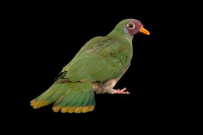 Picture of a Jambu fruit dove (Ptilinopus jambu) at the Brevard Zoo.