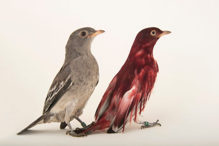 Picture of two Pompadour Cotinga (Xipholena punicea) at the Houston Zoo. The male has the color, the female is drab.