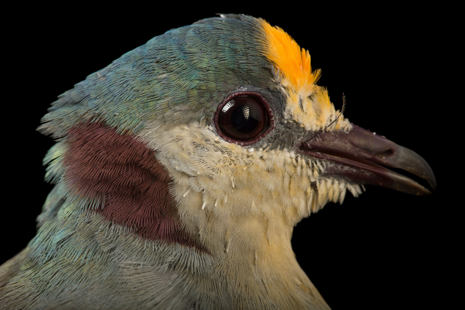 Picture of a Yellow-breasted Ground-dove (Gallicolumba tristigmata) at the Houston Zoo.