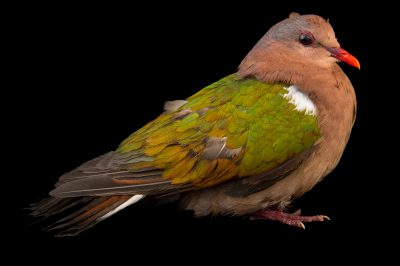 Picture of an emerald dove (Chalcophaps indica chrysochlora) at the Wellington Zoo.