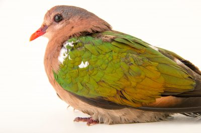 Picture of an emerald dove (Chalcophaps indica chrysochlora) at the Wellington Zoo