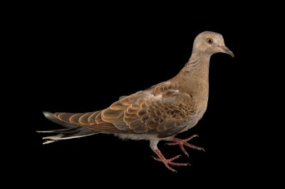 European turtle dove (Streptopelia turtur turtur) from the Budapest Zoo.