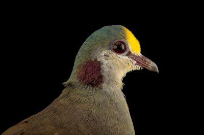 Picture of a Sulawesi ground dove (Gallicolumba tristigmata bimaculata) at the Plzen Zoo.
