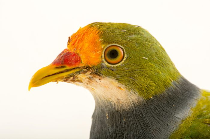 Photo: An orange fronted fruit dove (Ptilinopus aurantiifrons) at the Plzen Zoo.
