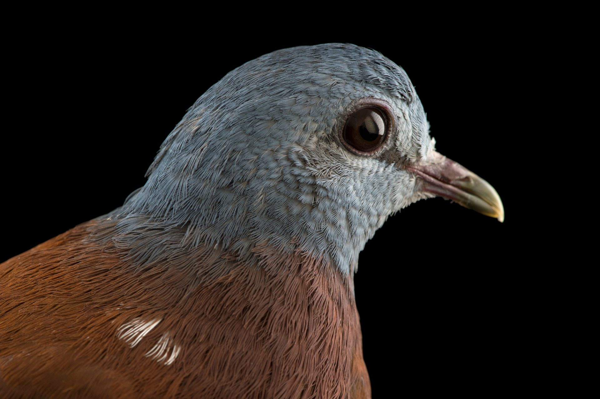 Photo: A blue headed wood dove (Turtur brehmeri) at the Plzen Zoo.
