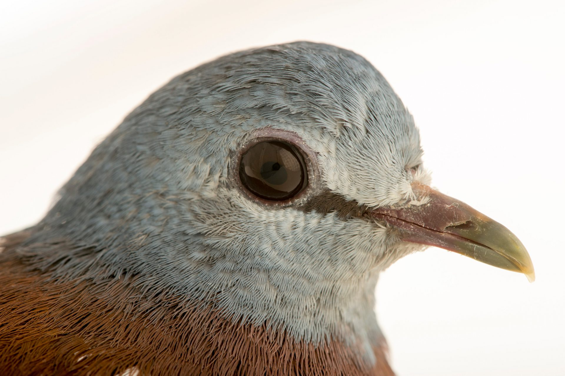 Photo: A blue headed wood dove (Turtur brehmeri) at the Plzen Zoo.