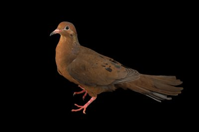 Picture of an extinct in the wild socorro dove or Grayson's pigeon (Zenaida graysoni) at the Plzen Zoo.