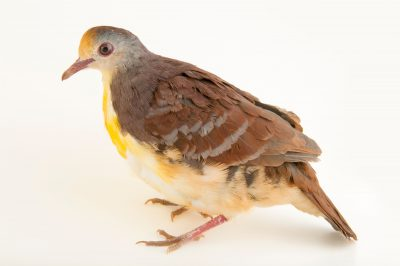 Photo: A cinnamon ground dove (Gallicolumba rufigula rufigula) at the Plzen Zoo.