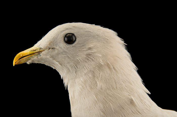 Photo: A Torresian imperial pigeon (Ducula spilorrhoa tarara) at the Plzen Zoo.