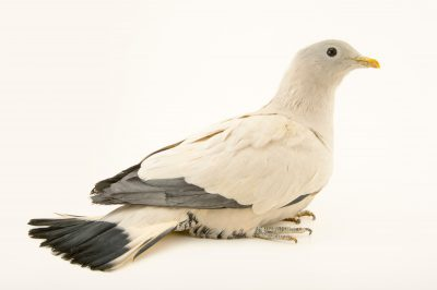 Photo: A Torresian imperial pigeon (Ducula spilorrhoa tarara) at the Plzen Zoo.