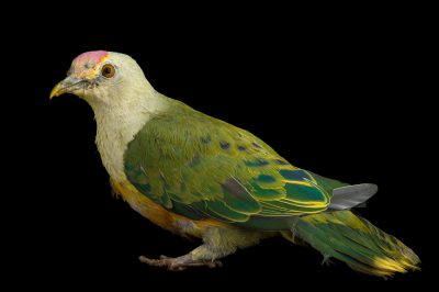 Photo: A rose crowned fruit dove (Ptilinopus regina flavicollis) at the Plzen Zoo.