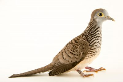 Photo: A barred dove (Geopelia maugei) at the Plzen Zoo.