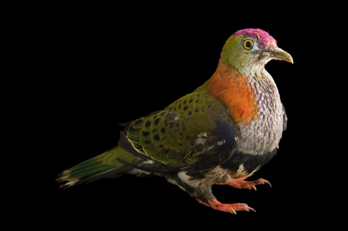 Photo: A superb fruit dove (Ptilinopus superbus superbus) at the Plzen Zoo.