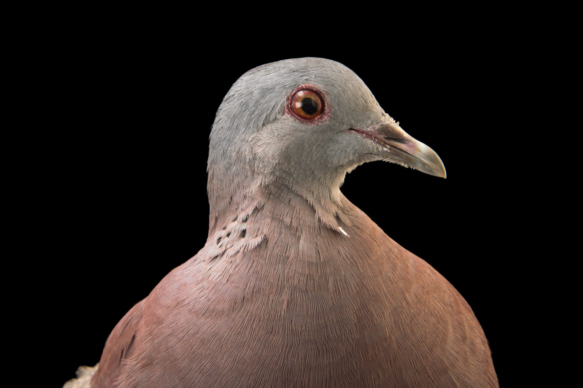 Picture of a Malagasy turtle dove (Streptopelia picturata picturata) at the Plzen Zoo in the Czech Republic.