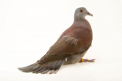 Picture of a Malagasy turtle dove (Streptopelia picturata picturata) at the Plzen Zoo in the Czech Republic.
