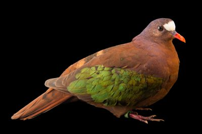 Photo: A StephanÕs emerald dove (Chalcophaps stephani) at the Plzen Zoo in the Czech Republic.