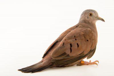Photo: A ruddy ground dove (Columbina talpacoti) at the Plzen Zoo in the Czech Republic.