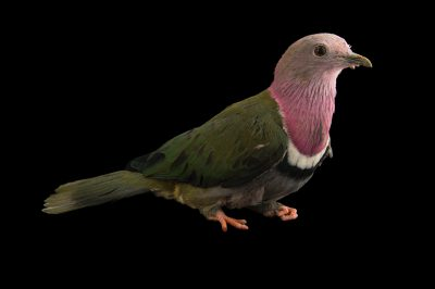 Photo: Pink-headed fruit dove (Ptilinopus porphyreus) from Le Parc des Oiseaux in Villars Les Dombes, France.
