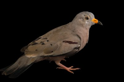 Photo: Croaking ground dove (Columbina cruziana) from Le Parc des Oiseaux in Villars Les Dombes, France.