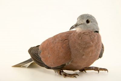 Photo: Red turtle dove (Streptopelia tranquebarica humilis) at the Plzen Zoo in the Czech Republic.