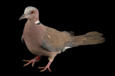 Photo: Sunda collared dove (Streptopelia bitorquata) at the Plzen Zoo in the Czech Republic.