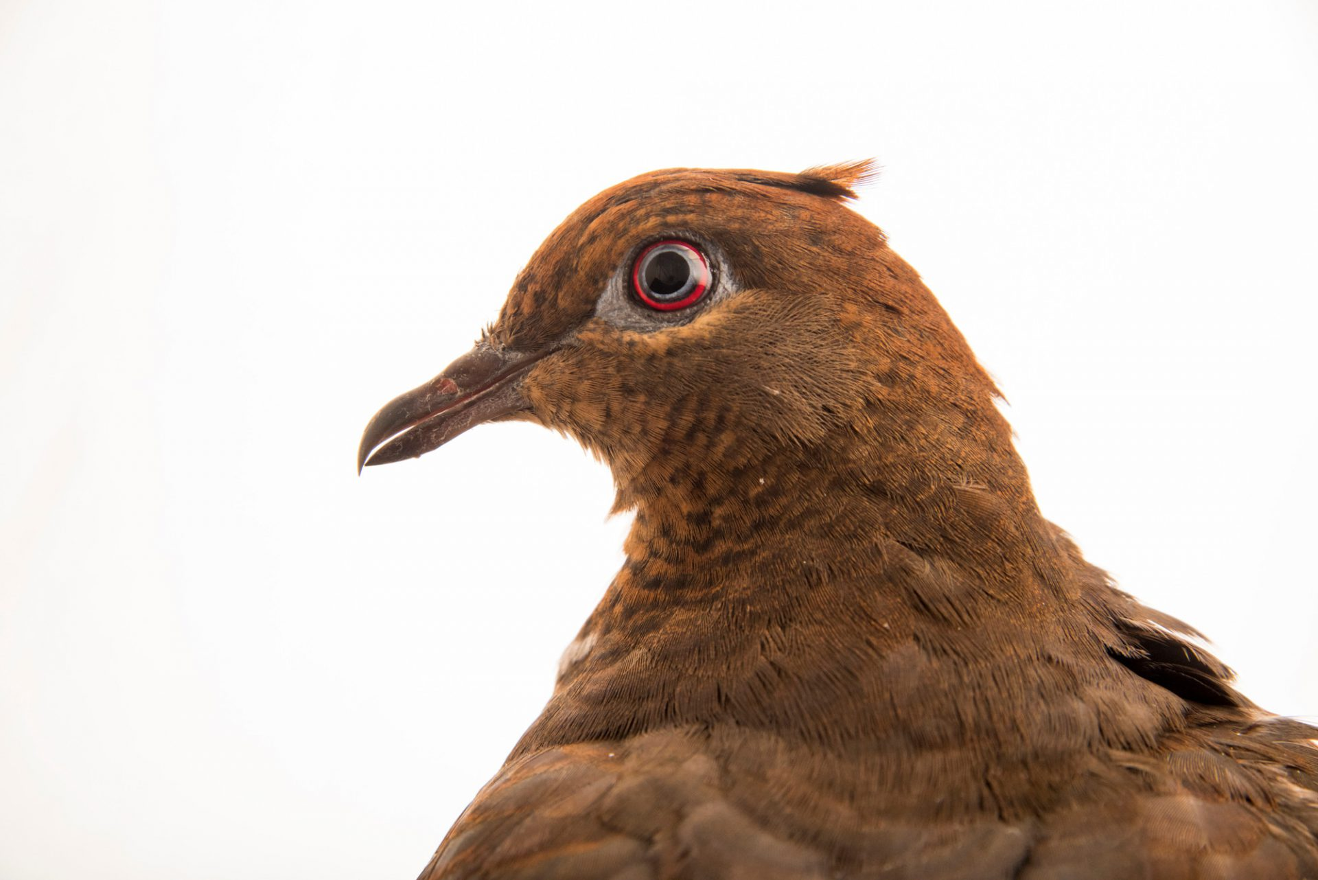 Photo: Brown cuckoo-dove (Macropygia phasianella) at Healesville Sanctuary.