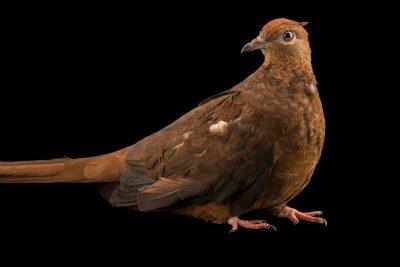 Photo: Brown cuckoo-dove (Macropygia phasianella) at Healesville Sanctuary.