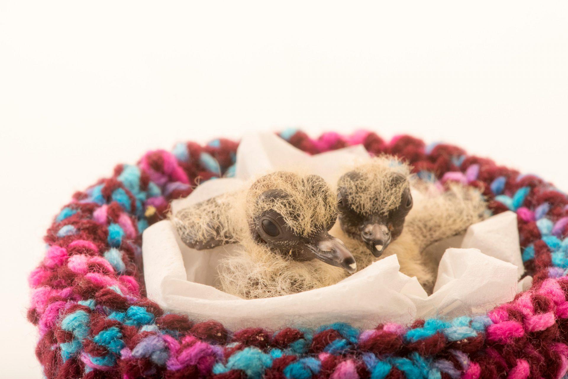 Photo: Two-day-old mourning dove hatchlings (Zenaida macroura) at Wildlife Care Association