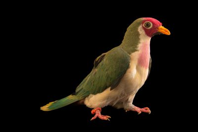 Photo: A Jambu fruit dove (Ptilinopus jambu) at the Dallas Zoo.