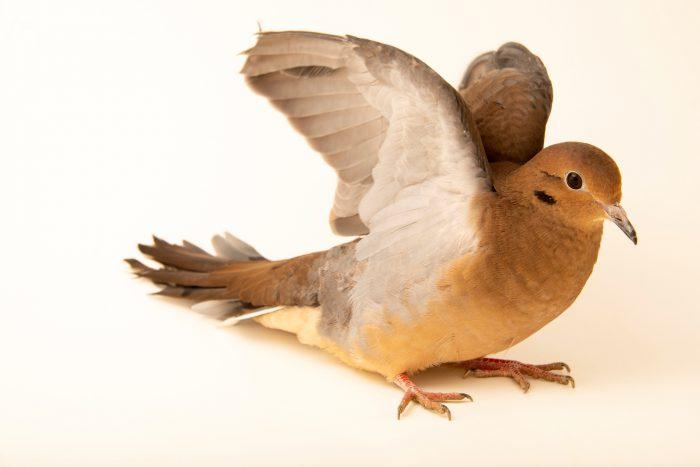 Photo: A mourning dove (Zenaida macroura carolinensis) at the Carolina Waterfowl Rescue.