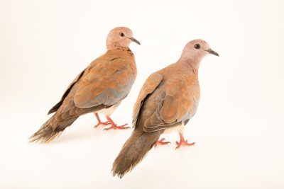 Photo: A pari of laughing doves (Stigmatopelia senegalensis) at Jurong Bird Park, of Wildlife Reserves Singapore.