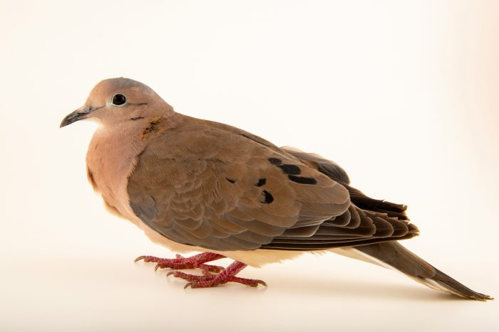 Photo: An eared dove (Zenaida auriculata) at Jurong Bird Park, of Wildlife Reserves Singapore.