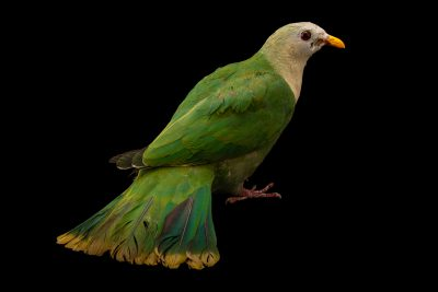 Photo: Black-chinned fruit dove (Ramphiculus leclancheri) at the Avilon Zoo.