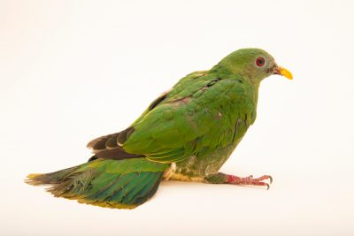 Photo: A female black-chinned fruit dove (Ramphiculus leclancheri) at the Avilon Zoo.