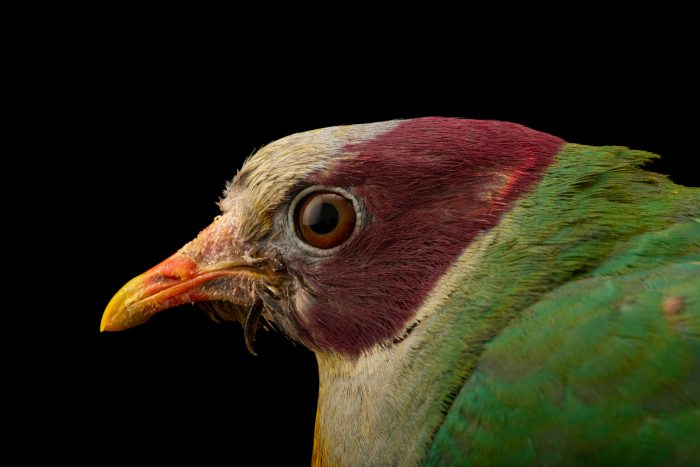 Photo: A Yellow-breasted fruit dove (Ramphiculus occipitalis) at the Avilon Zoo.