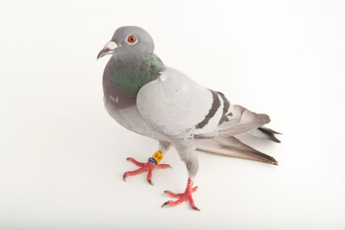 Picture of a rock dove (Columba livia), at the home of a bird rescuer in Lincoln, Nebraska.
