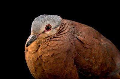 Photo: A Chiriqui quail dove (Geotrygon chiriquensis) at the Dallas World Aquarium.