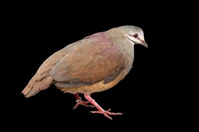 Photo: A purplish backed quail dove (Geotrygon lawrencii) at the Dallas World Aquarium.