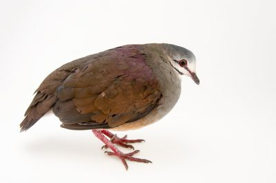 Photo: A purplish backed quail dove (Geotrygon lawrencii) at the Dallas World Aquarium.