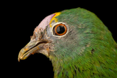 Photo: A coroneted fruit dove (Ptilinopus coronulatus) at the Zoo Berlin.