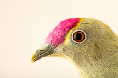 Photo: A red-bellied fruit dove (Ptilinopus greyi) at the Zoo Berlin.