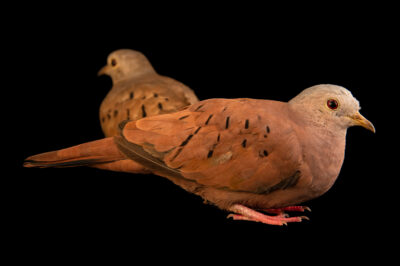 Photo: A male and female ruddy ground dove (Columbina talpacoti talpacoti) at the Membeca Lagos Farm, near Rio de Janeiro, Brazil.