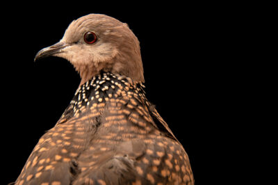 Photo: A Western spotted dove (Streptopelia suratensis) at the Plzen Zoo in the Czech Republic.