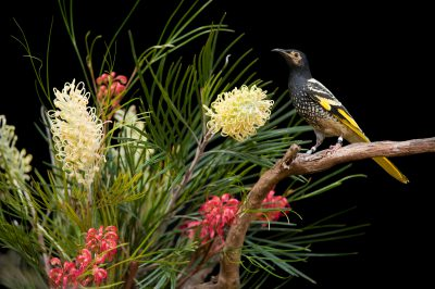 A regent honeyeater (Anthochaera phrygia) an endangered bird at the Melbourne Zoo.