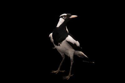 A male Magpie-lark (Grallina cyanoleuca)