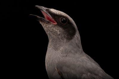 Black-faced cuckoo-shrike (Coracina novaehollandiae)