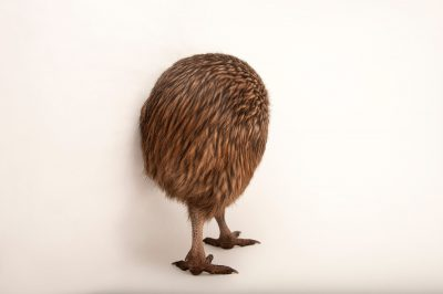 Picture of an endangered North island kiwi (Apteryx mantelli) at the Columbus Zoo.