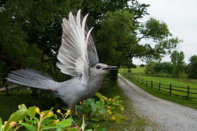 Photo: Gray catbird (Dumetella carolinensis) on a farm near Raymond, NE.
