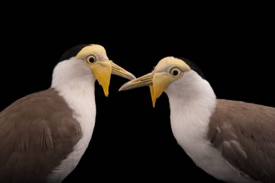 Picture of a pair of masked lapwings (Vanellus miles miles) at the Columbus Zoo.